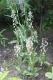 Белорусская орхидея — дремлик. Охраняемый вид