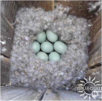 Гнездо гоголя обыкновенного